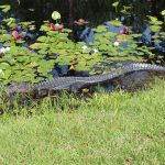 Okefenokee Swamp Alligator
