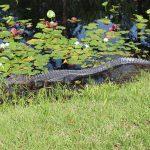 Okefenokee Swamp Alligator
